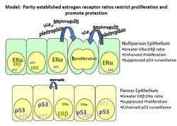 Parity established estrogen receptor ratios restrict proliferation