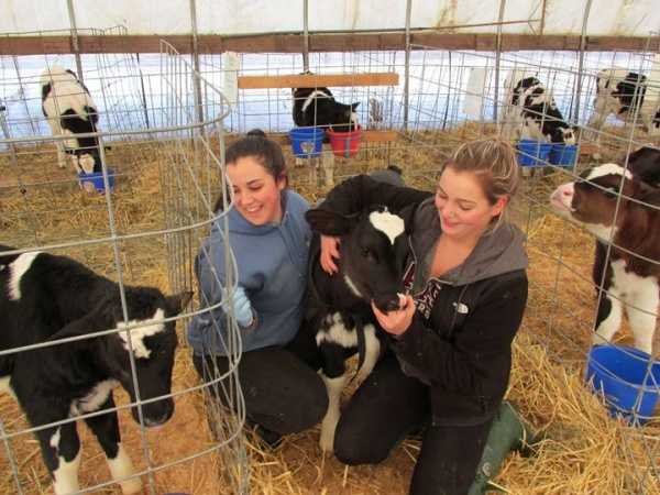 students working with dairy calves at Devine Farm