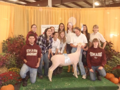 UMass Dorset Sheep at the Eastern States Exposition 2013