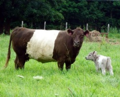 Willow and her silver dun calf