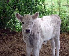 Willow's silver dun calf